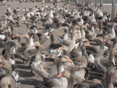 ПП «ППП «Раздольное»  реализует поголовье племенных самцов гусей