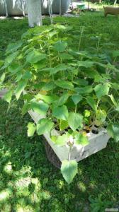 Павловния - дерево-медонос