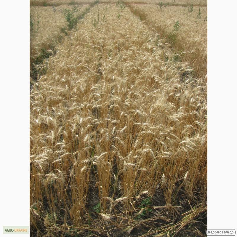 Насіння озимої пшениці - сорт Наталка. Еліта та 1 репродукція