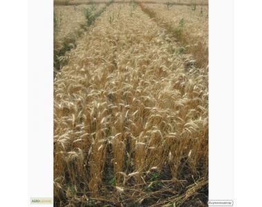 Семена пшеницы озимой - сорт Наталка. Элита и 1 репродукция