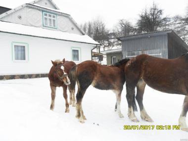 Лошади тяжеловозы, пони