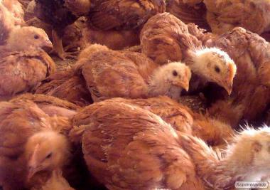 Цыплята пород Мастер Грей, Испанка, Голошейка