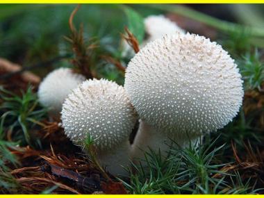 Мицелий Дождевика настоящего / Дождевик шиповатый (Lycoperdon perlatum)