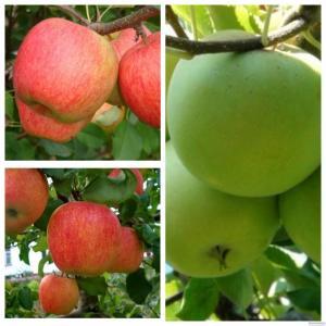 Саженцы яблони от производителя опт и розница более 65 сортов.