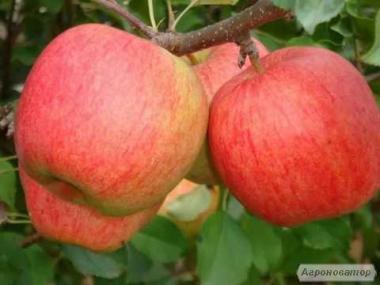Саженцы яблони сорта Чемпион, от производителя, отличного качества