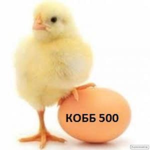 Яйцо Инкубационное Бройлера Кобб 500