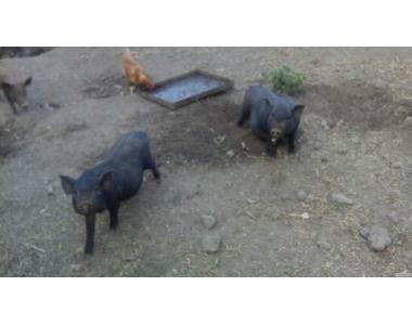 Продаю вьетнамских (черных, мясных) поросят!
