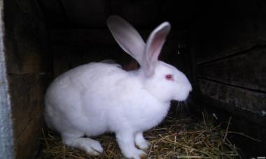 Продам кроликов Белый и Серый Великаны