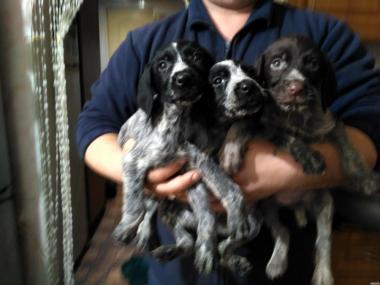 Продам собачат мисливської породи дратхар від робочих дипломованих.