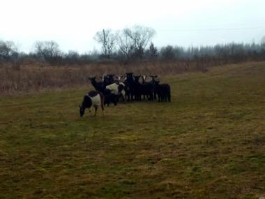 продам кіз і козенят