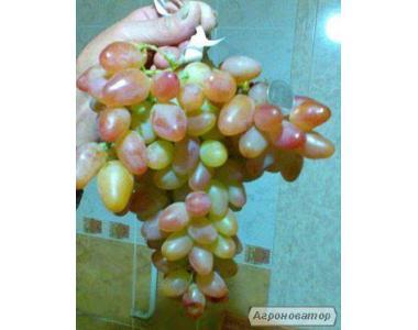 продам саджанці винограду пам Смольникова і Боготяновский