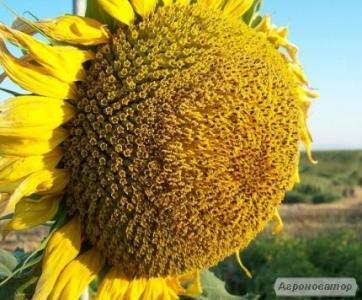 Продам насіння соняшнику Ясон, Славсон, Жалон, Лейла, НС-Х-498