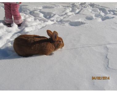 продам кролів новозеландці та каліфорнійці