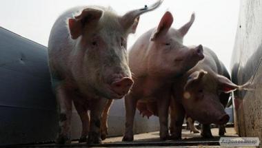 Купим свиней. Все регионы Украины