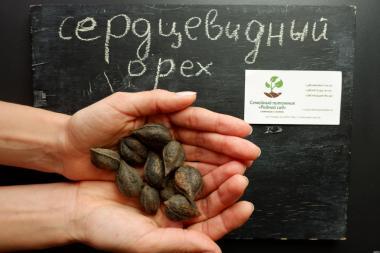 Сердцевидный орех саженцы (саджанці серцевидний горіх)