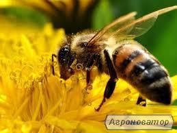 Плодные пчелиные матки Карпатской породы