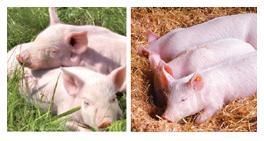 Комбикорма для свиней