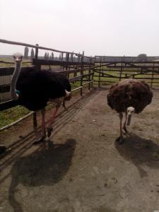 Продам дорослих страусів