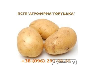Картопля насіннєва та харчова від виробника