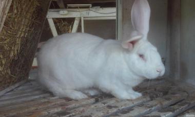 кролі білий велетень