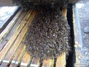 Бджолосім'ї 2017