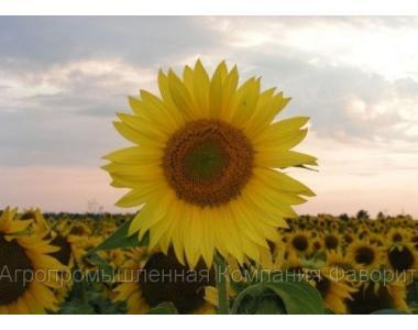 Гібриди соняшнику «ЄВРАЛІС СЕМЕНС» (EURALIS SEMENS)
