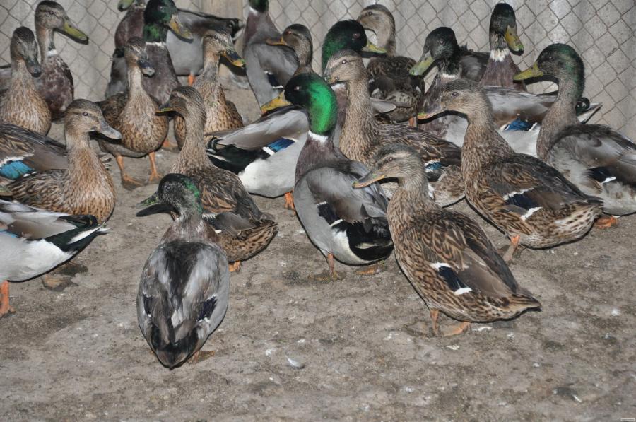 Продам підсадних качок