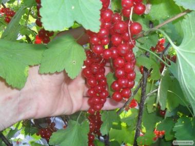 Саженцы красной смородины купить Украина Днепр