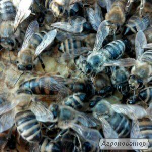 Плідні мічені матки української степової бджоли 2018