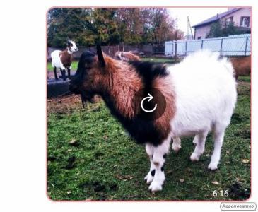 Камерунские козы