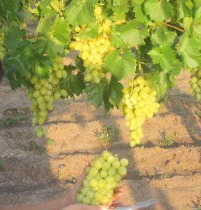 Продам виноград столових сортів
