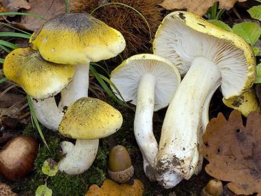 Мицелий Рядовки обособленной / Рядовка отличающаяся (Tricholoma sejunctum)