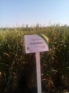 Пшениця Подолянка - насіння пшениці озимої