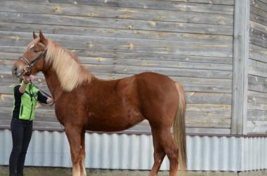 Продається новоолександрійська кобила Крона від Кралі та Рябчика,