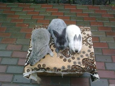 Кролики породы Калифорния.