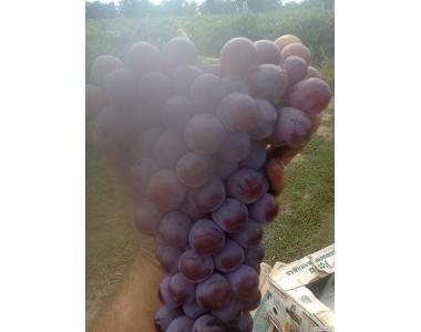 Виноград универсальный Розовая Изабелла крупноплодная.