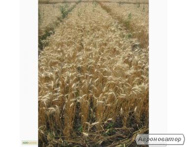 Насіння пшениці озимої - сорт Наталка. Еліта й 1 репродукція