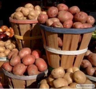 Сортовой картофель-отменный урожай