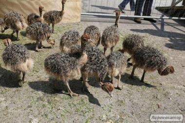 продам страусів 1-4 місяці