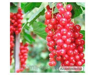 Саджанці червоної смородини кращих сортів