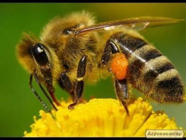 серая горная кавказская пчела пчеломатки семьи и пчелопакеты