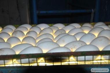 гусяче яйце інкубаційне