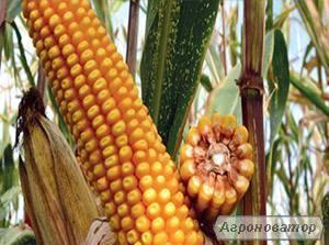 Кукурудза продам