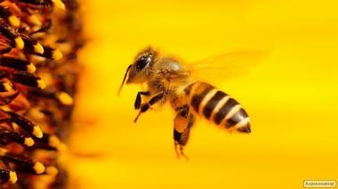 Продам бджолопакети 900шт. і бджолосім'ї.