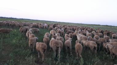 Терміново продам стадо овець Меринос-Асканійський 330 голів, Миколаїв