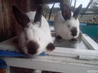 Кролі каліфорнійські