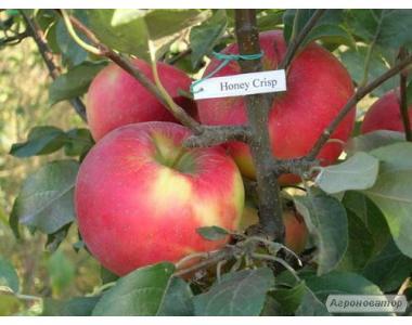Саджанці яблуні, сорт