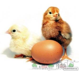 Інкубаційні яйця - Мастер Грей, Іспанка (голошейка), Редбро