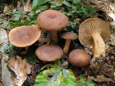 Міцелій Краснушки / Груздь солодкий (Lactarius subdulcis)