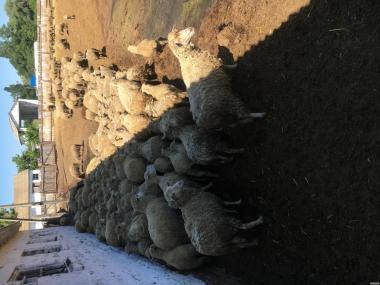 продам стадо овец 320 голов меринос